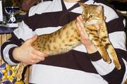 Bengalmix kitten / kittens