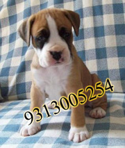 Gift a Boxer Pups on this Valentine day( 9810871734)