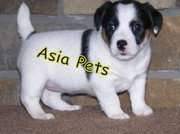 JACK RUSSELL Terrier Puppies  For Sale  ® 9911293906