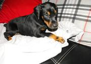 Superb litter of Doberman Puppies available from Imported bloodline av